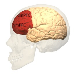 Prefrontal_cortex_labeled